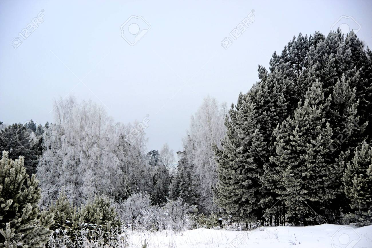 This is the real kingdom of Winter. The forest, as if sleeping, completely plunged into a fluffy winter dream. There is absolutely no wind. Everything fascinated by frost. - 156494810