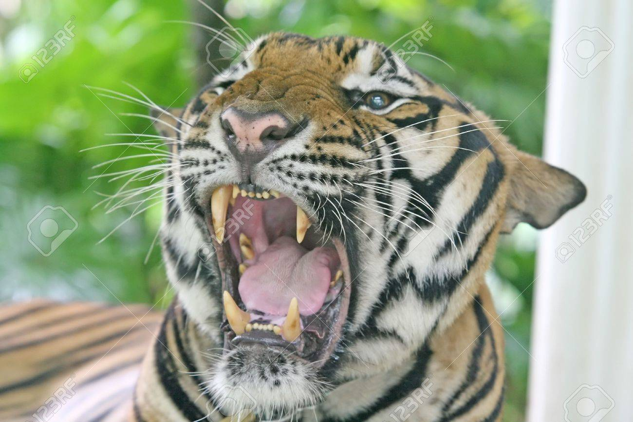 close up of a tiger showing his large teeth stock photo picture