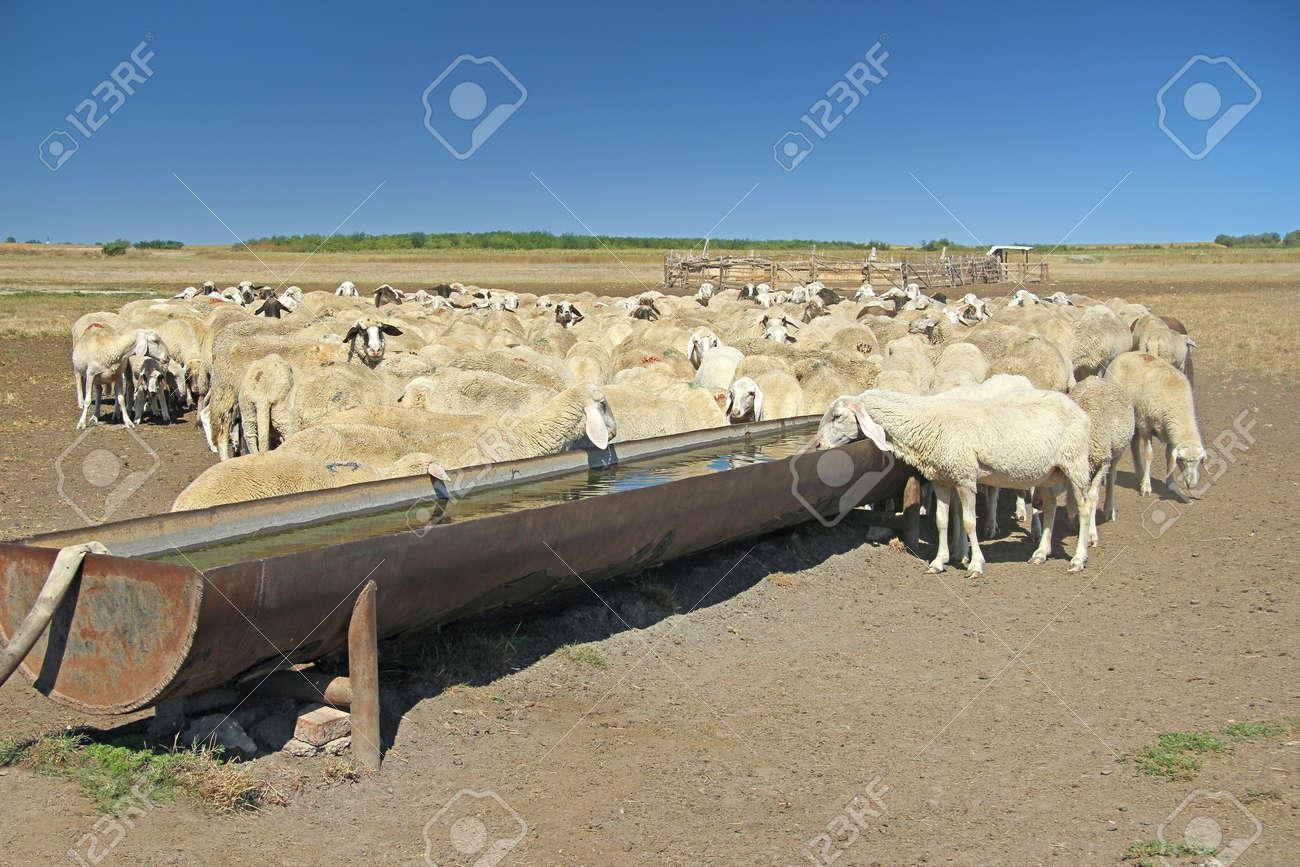 Herde Der Schafe Auf Der Tränke Lizenzfreie Fotos, Bilder Und Stock ...