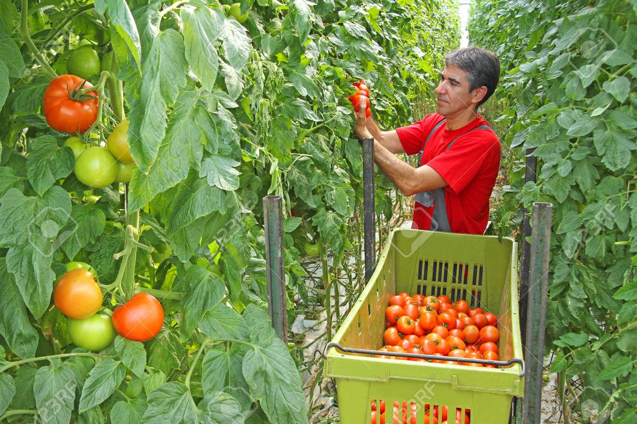 """Résultat de recherche d'images pour """"Field Tomatoes"""""""