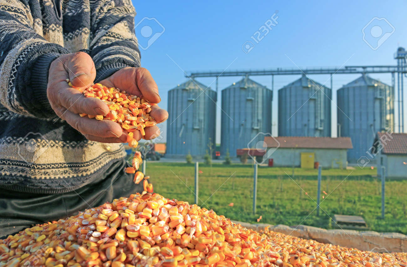 Corn grain in a hand after good harvest of successful farmer, in a background agricultural silo - 33560262