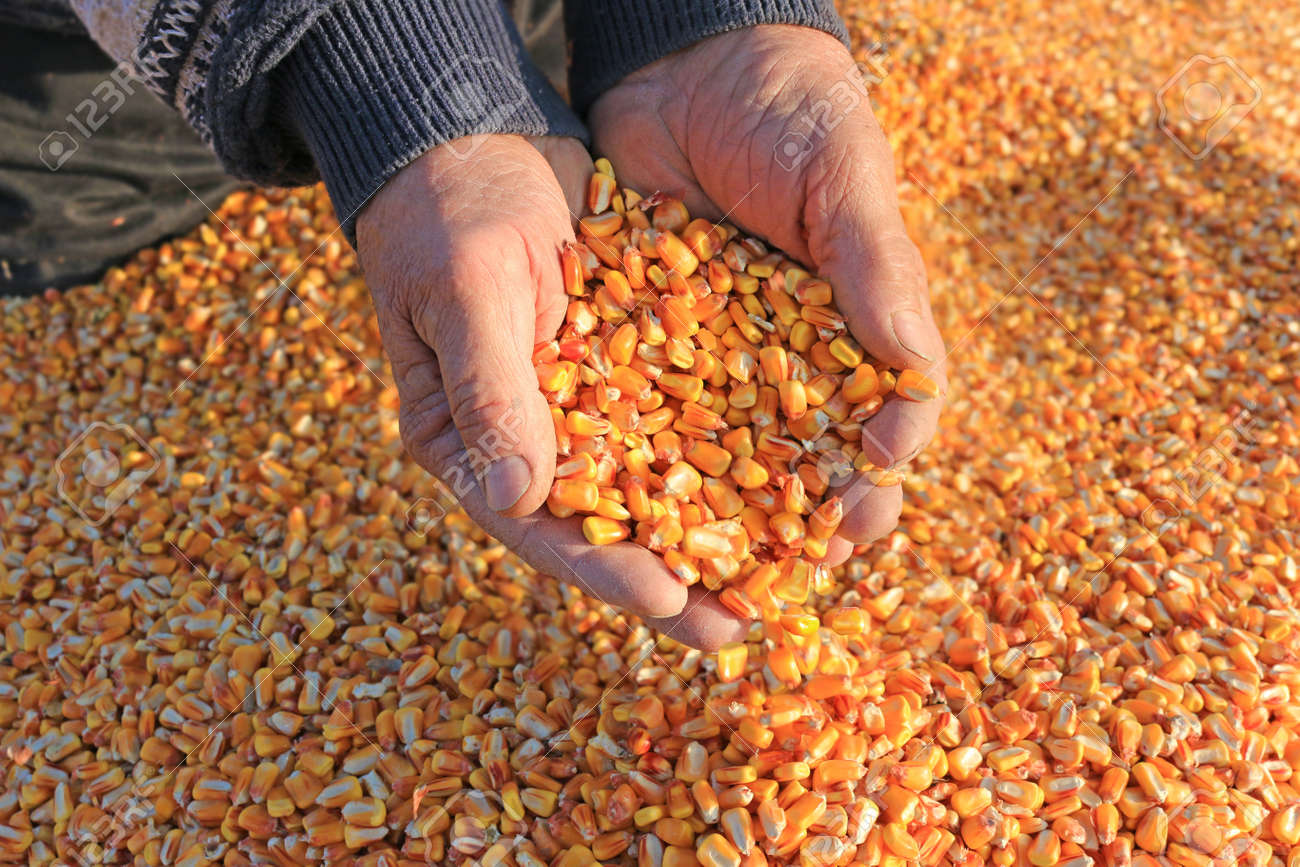 Corn grain in a hand after good harvest of successful farmer - 54369060