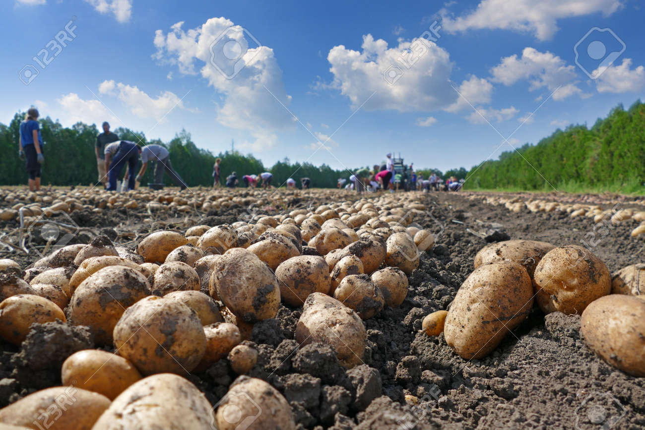 Harvesting potatoes on field, farm workers picking and transporting to the warehouse - 64364176