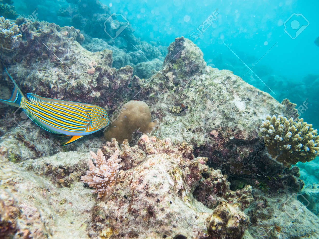 striped doctorfish tang at a coral reef of the maldives Stock Photo - 20642893