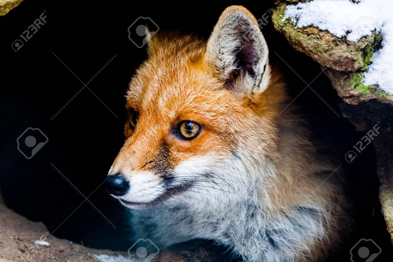 Portrat Einer Jungen Fuchs Im Winter Blick Aus Seinem Fuchs Erde