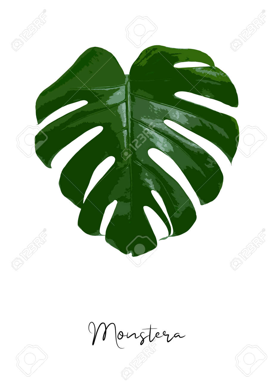 Decorative monstera leaf isolated on white background poster vector illustration - 146758116