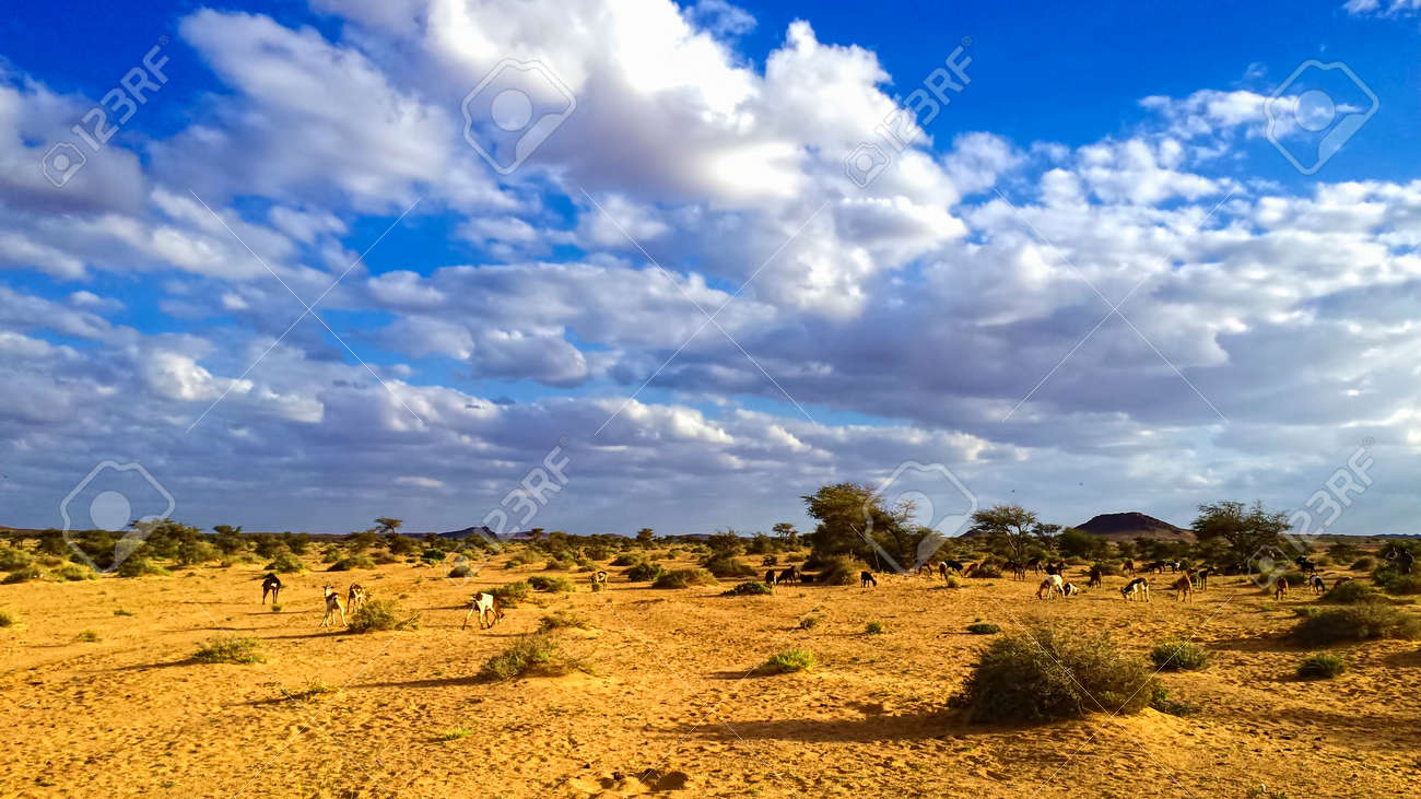 Flock Goat In The Mountains At Spring In Tifariti Western Stock Photo Picture And Royalty Free Image Image 38616977
