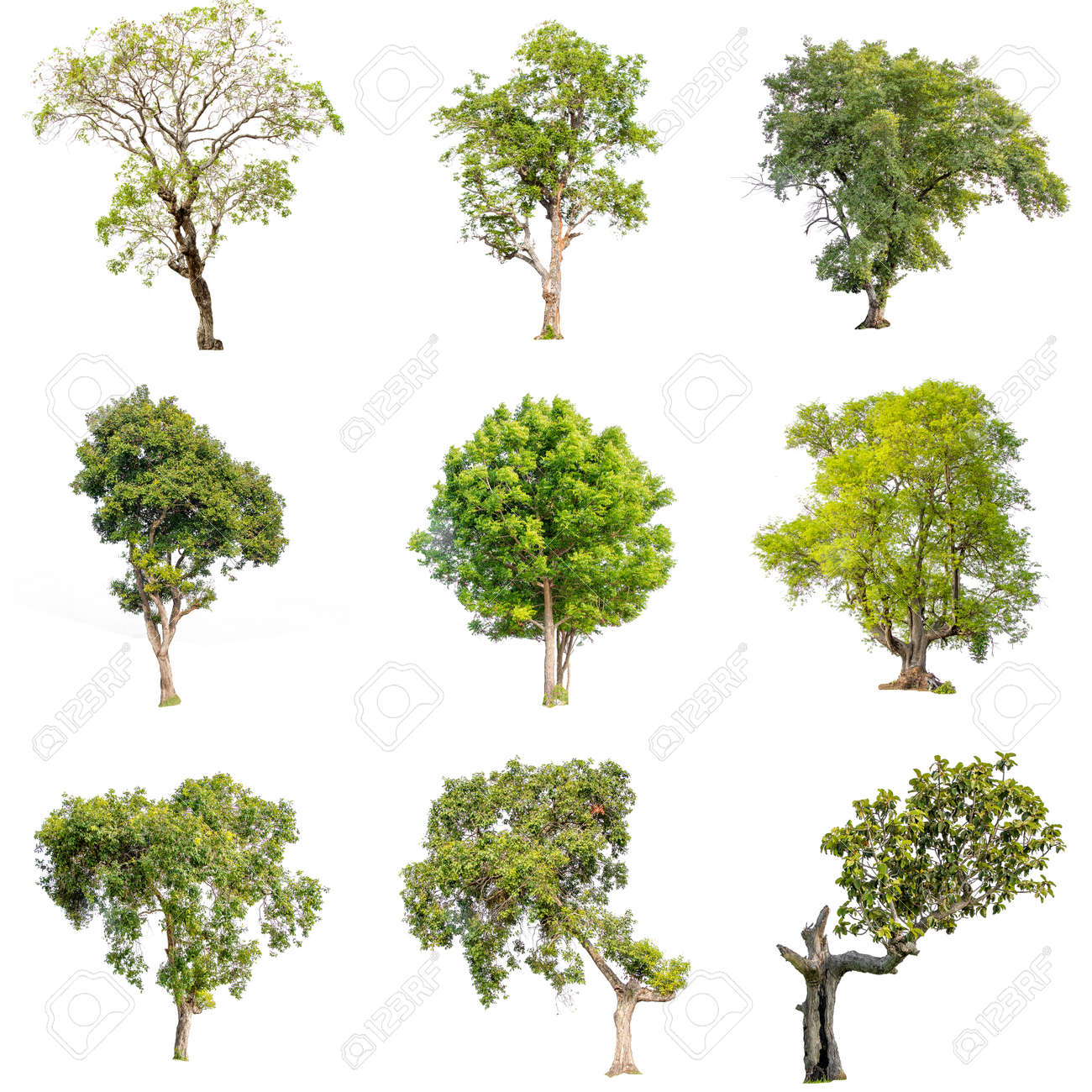 Collection of isolate pictures of green tree. Large perennial on white background. tree dicut at isolated. Beautiful green trees in Thailand Used for teaching biology of plants. - 125711969