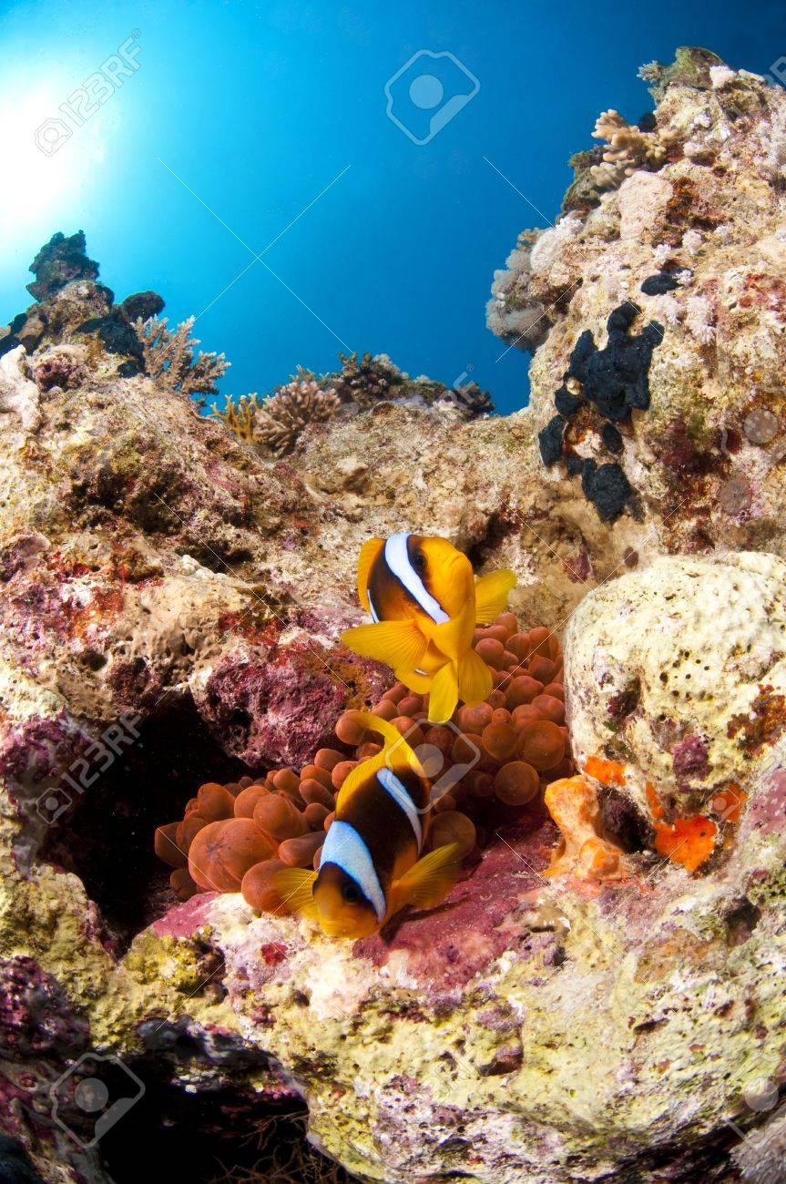 Poisson clown et son anemone, Mer Rouge, Egypte - 6660509