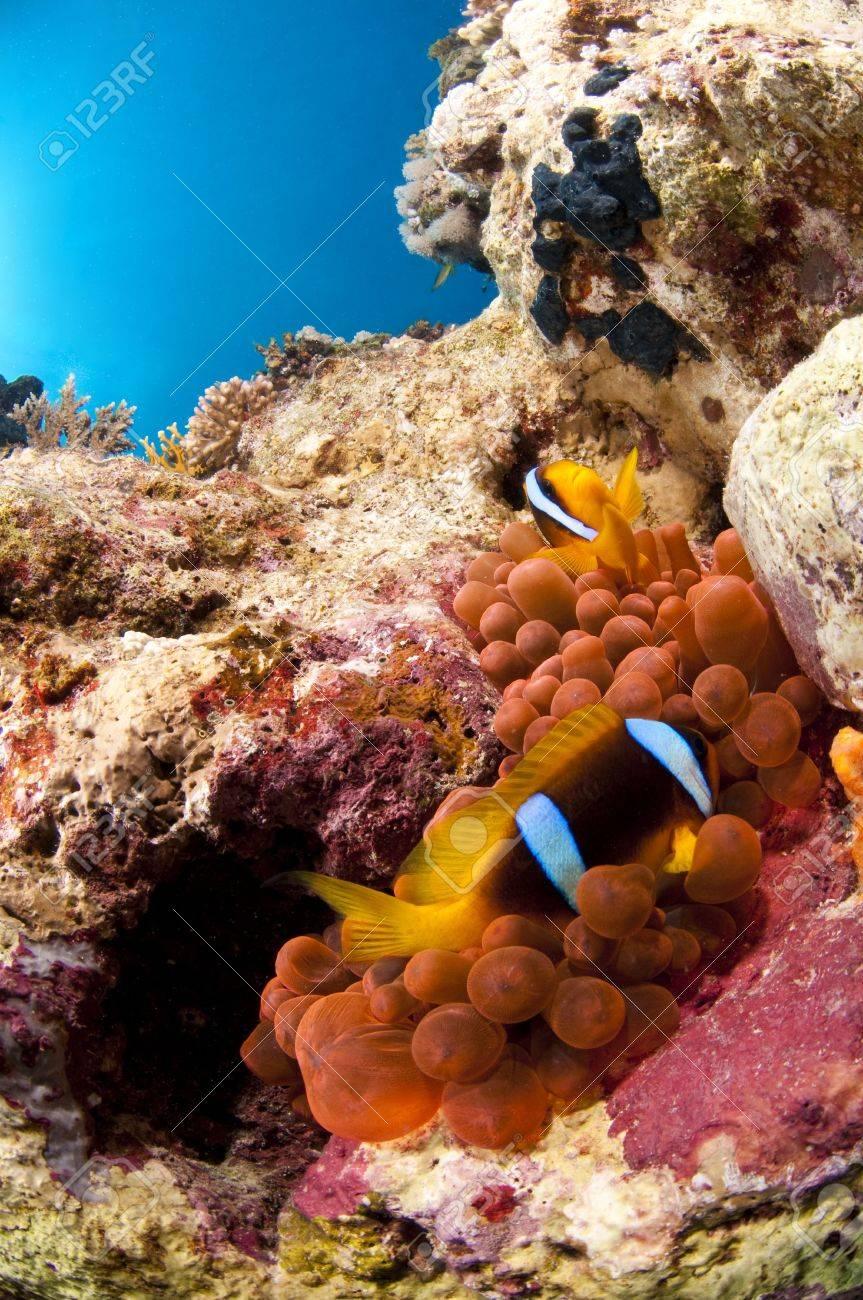 Poisson clown et son anemone, Mer Rouge, Egypte - 6660507