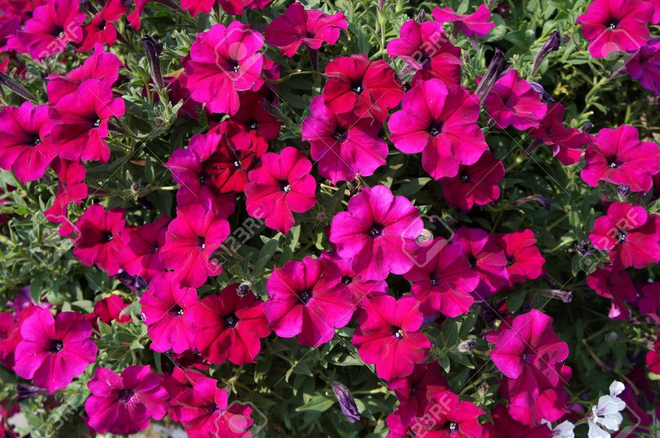 Petunia pink red large flowers cover stock photo 60453478