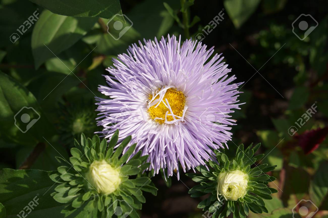 Aster Callistephus Needle Young White Violet Flower And Buds Stock