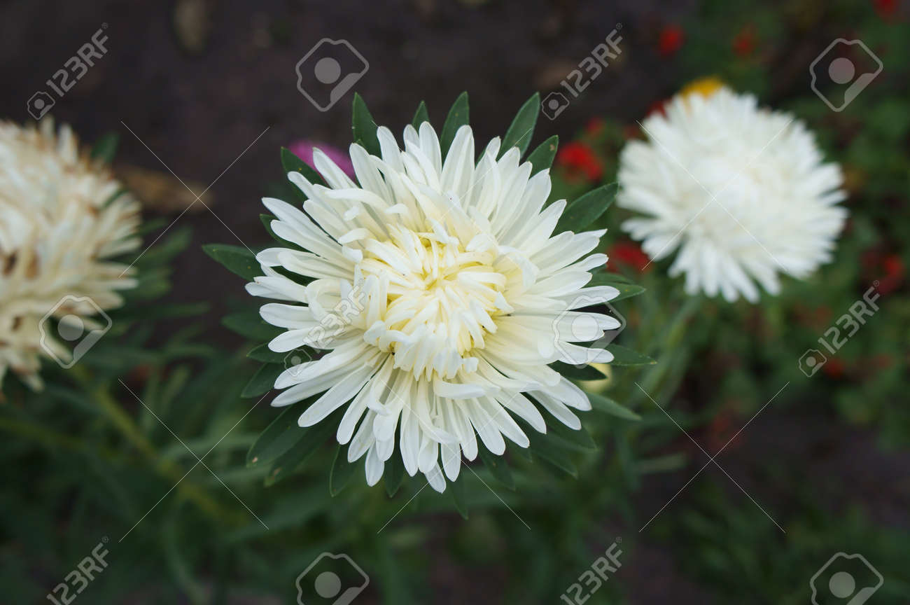 One Aster Callistephus White Flower Stock Photo Picture And