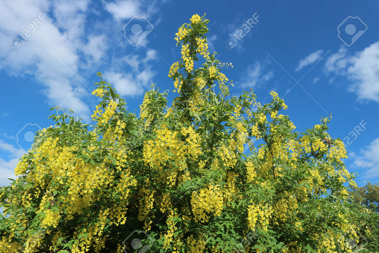 Cytisus Broom Shrub Yellow Flowers On A Blue Sky Background Stock