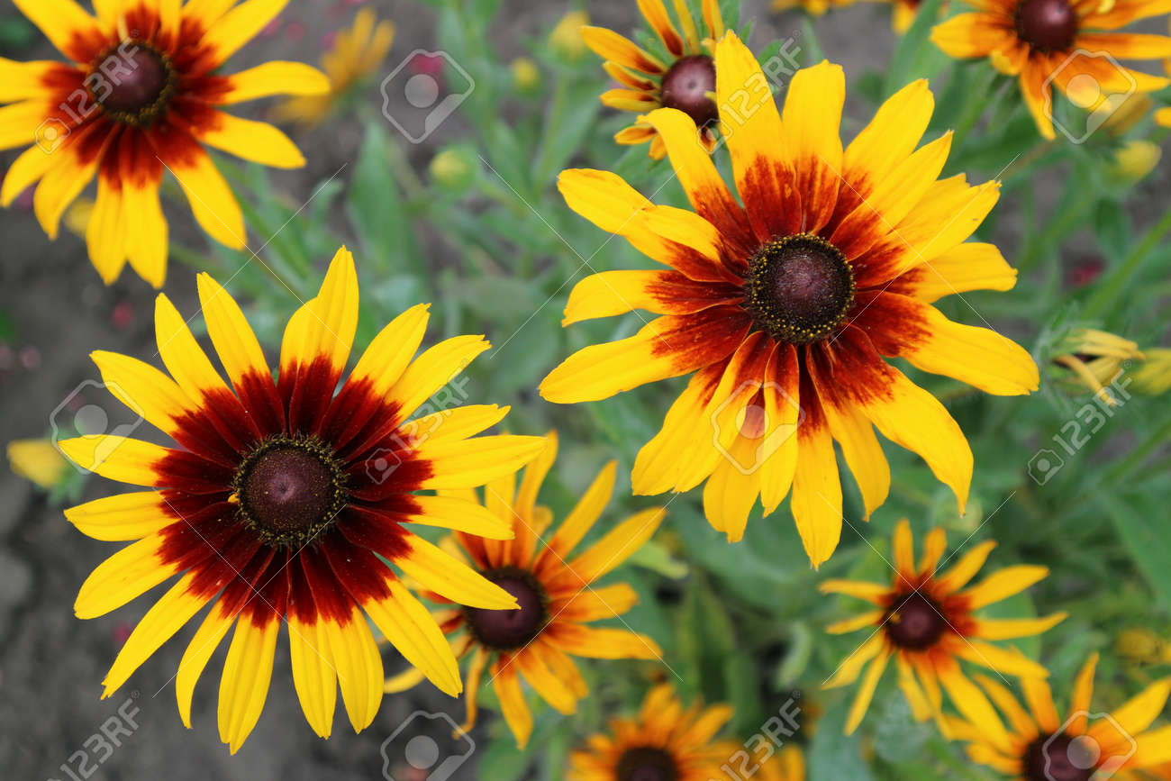 Cutleaf Coneflower Rudbeckia Yellow And Red Flowers Stock Photo