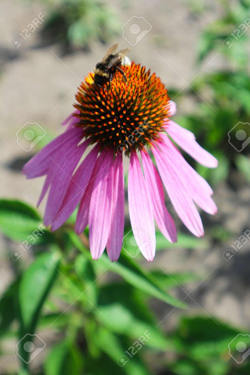 Echinacea Purpurea Eastern Purple Coneflower Flower With Bumblebee