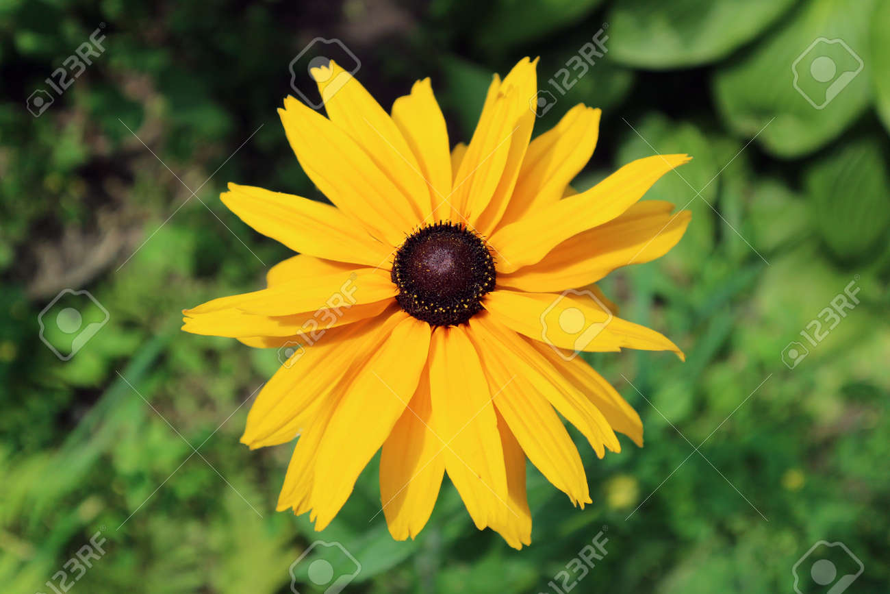 Rudbeckia gloriosa double gold large yellow flower with brown rudbeckia gloriosa double gold large yellow flower with brown center stock photo mightylinksfo