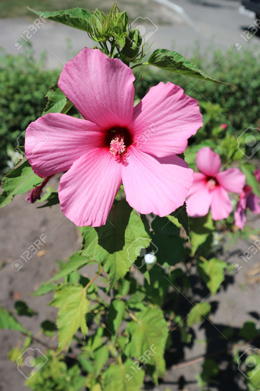 Hibiscus Moscheutos Swamp Rose Mallow Big Pink Flower On A Stock