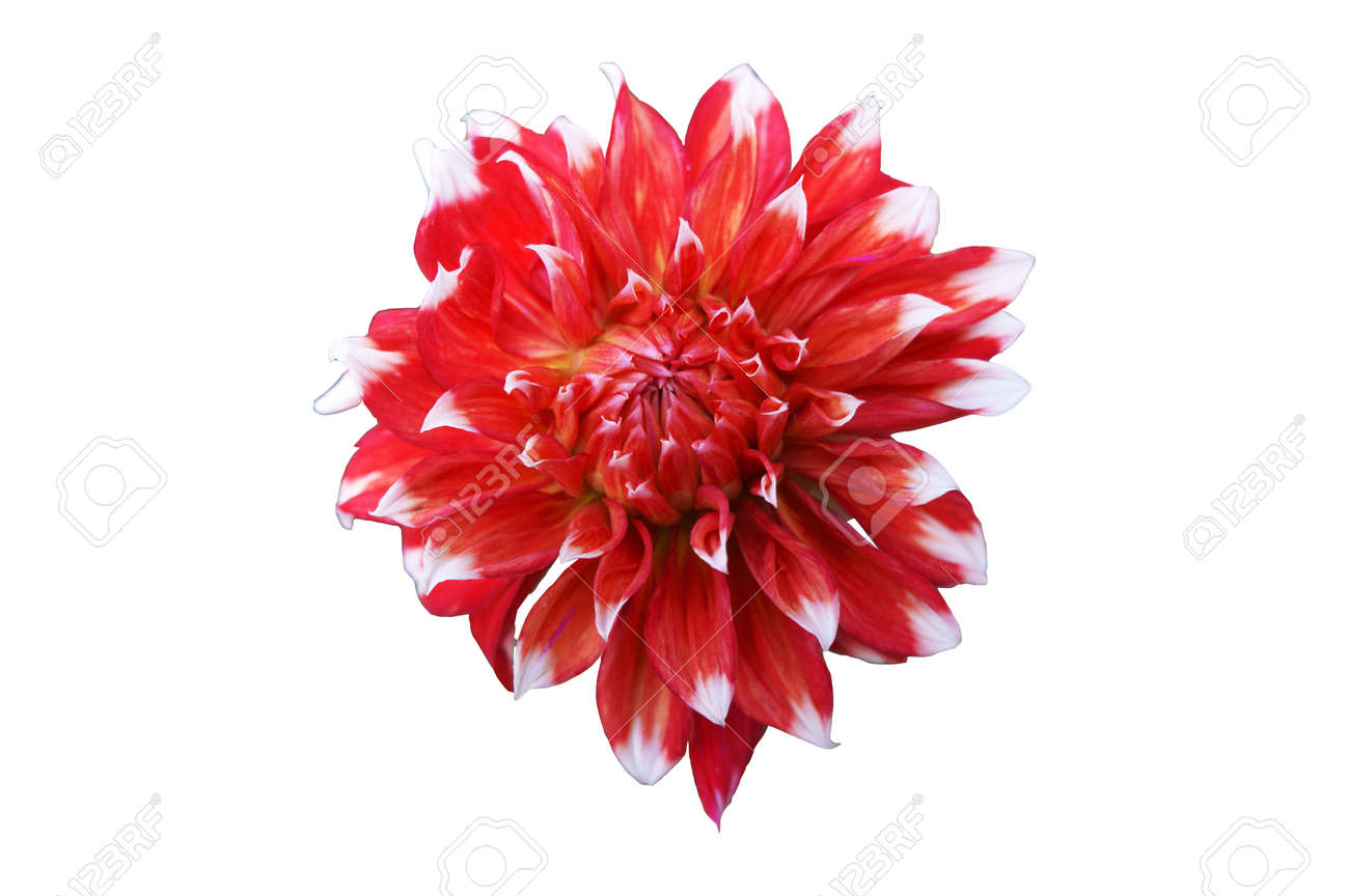 Dahlia scarlet flower with white tips isolated on white stock photo dahlia scarlet flower with white tips isolated on white stock photo 93256713 mightylinksfo