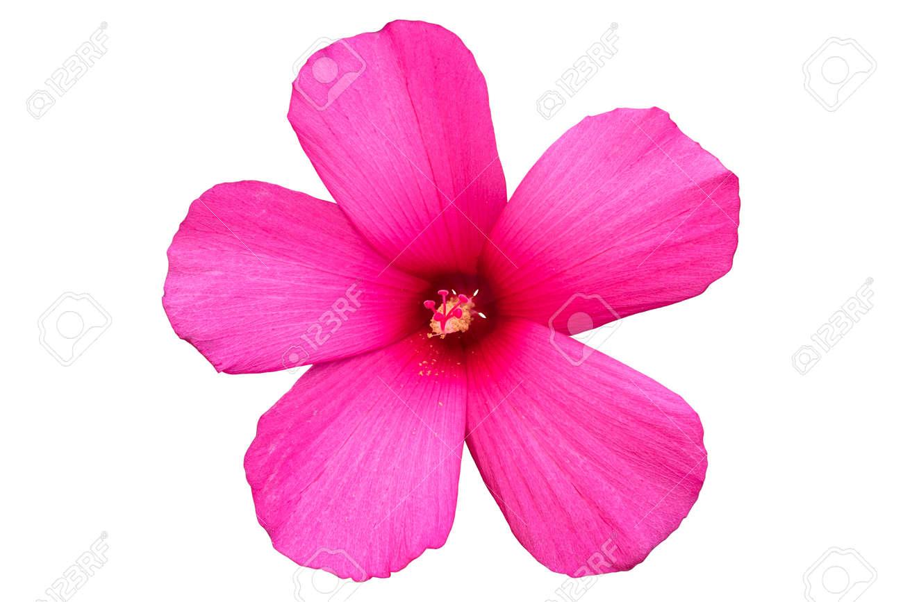 Hibiscus Moscheutos Red Pink Rose Mallow Flower Isolated On White
