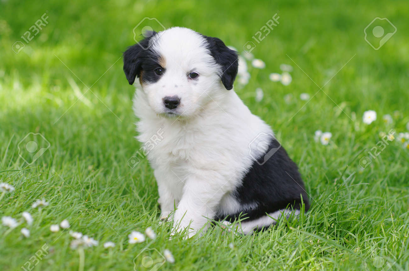 cute puppies in the meadow Stock Photo - 8716051