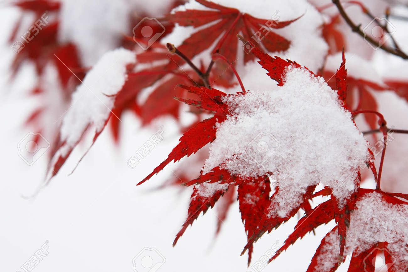 Close-up of a red tree with snow on it Stock Photo - 11092785