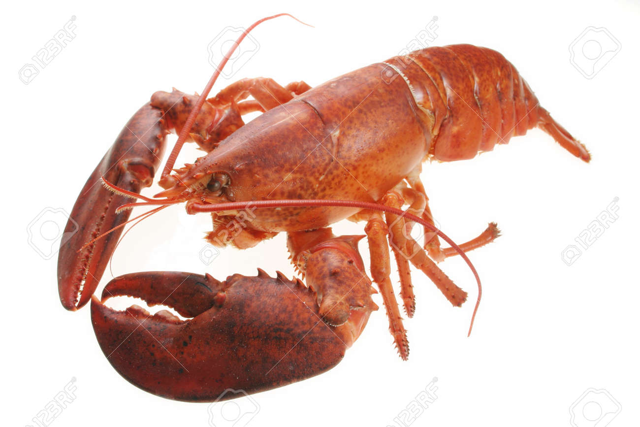 A large red lobster over white background Stock Photo - 17549865