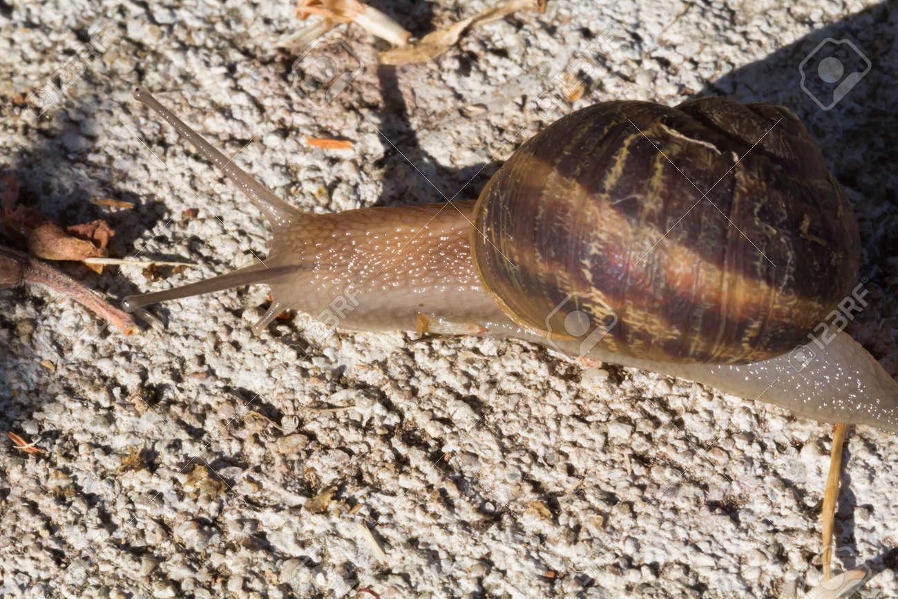 庭のカタツムリ、陸産貝類、地上...