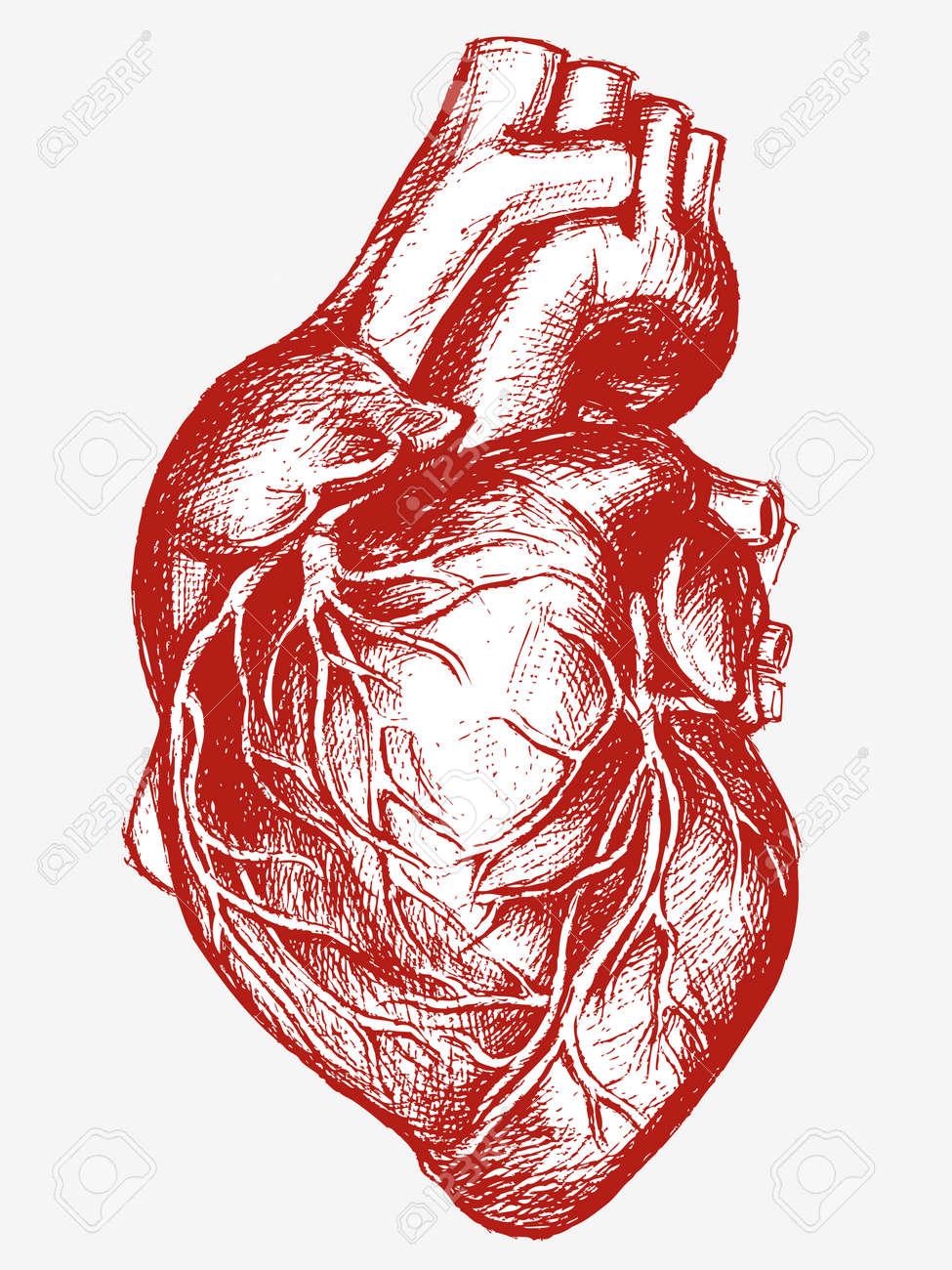 Corazón Humano Trabajo De Línea De Dibujo Ilustraciones Vectoriales