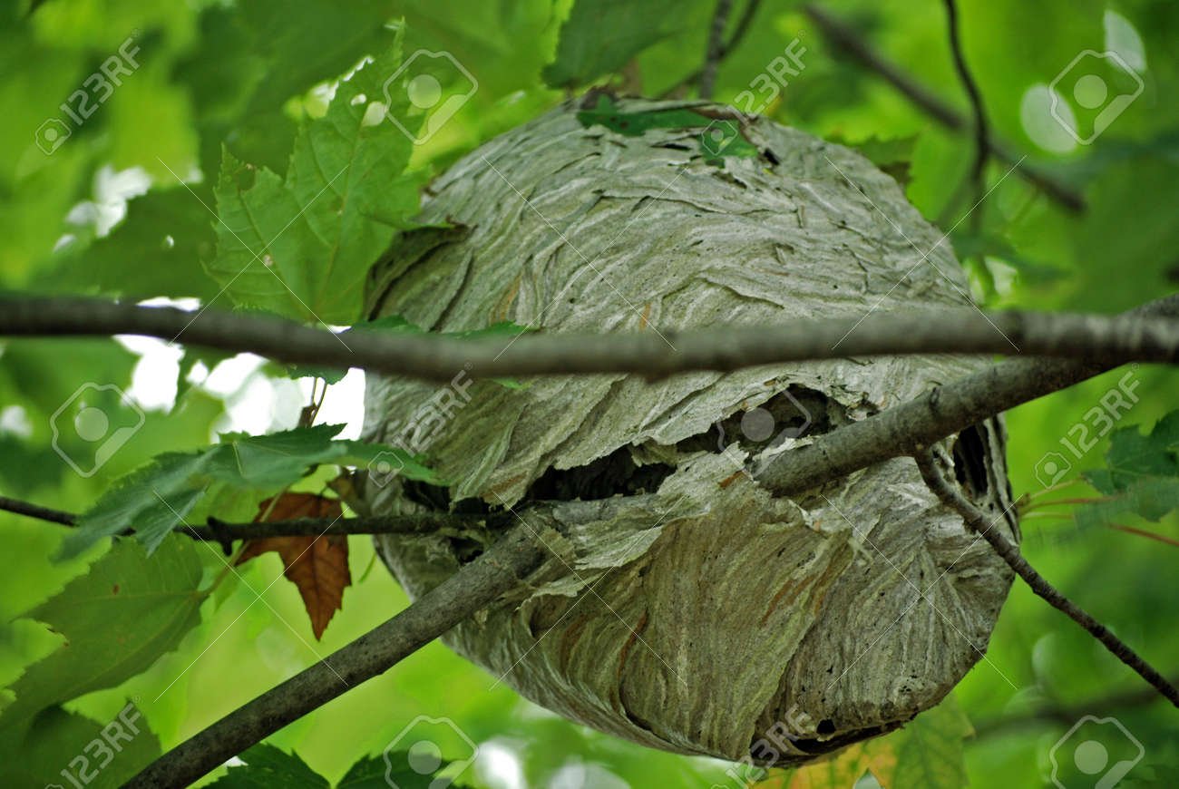 Wasp Nest In A Maple Tree. Stock Photo, Picture And Royalty Free ...