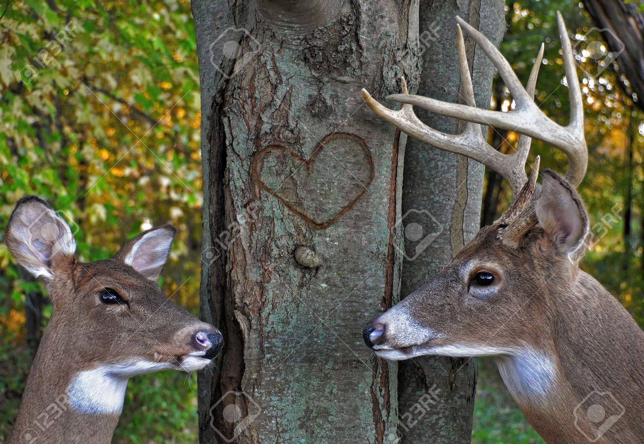 buck and doe in autumn woods stock photo picture and royalty free