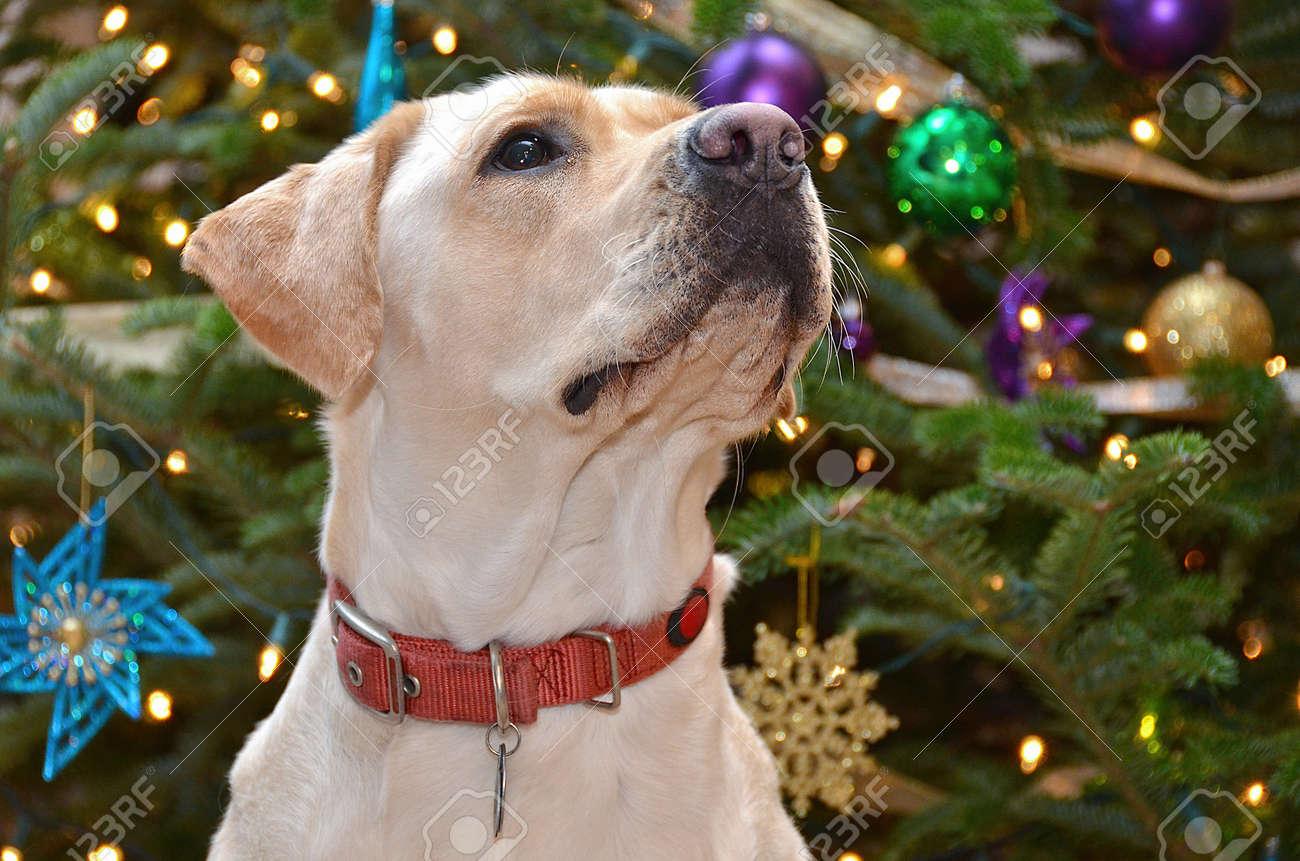 Labrador retriever by holiday tree Stock Photo - 18485787