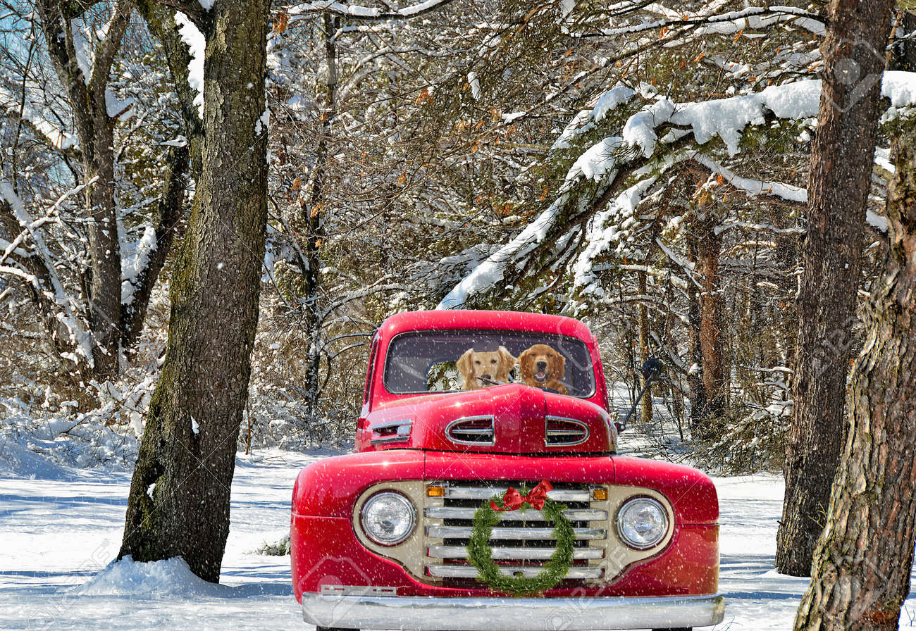 golden retrievers in red old truck with holiday wreath Stock Photo - 34688270
