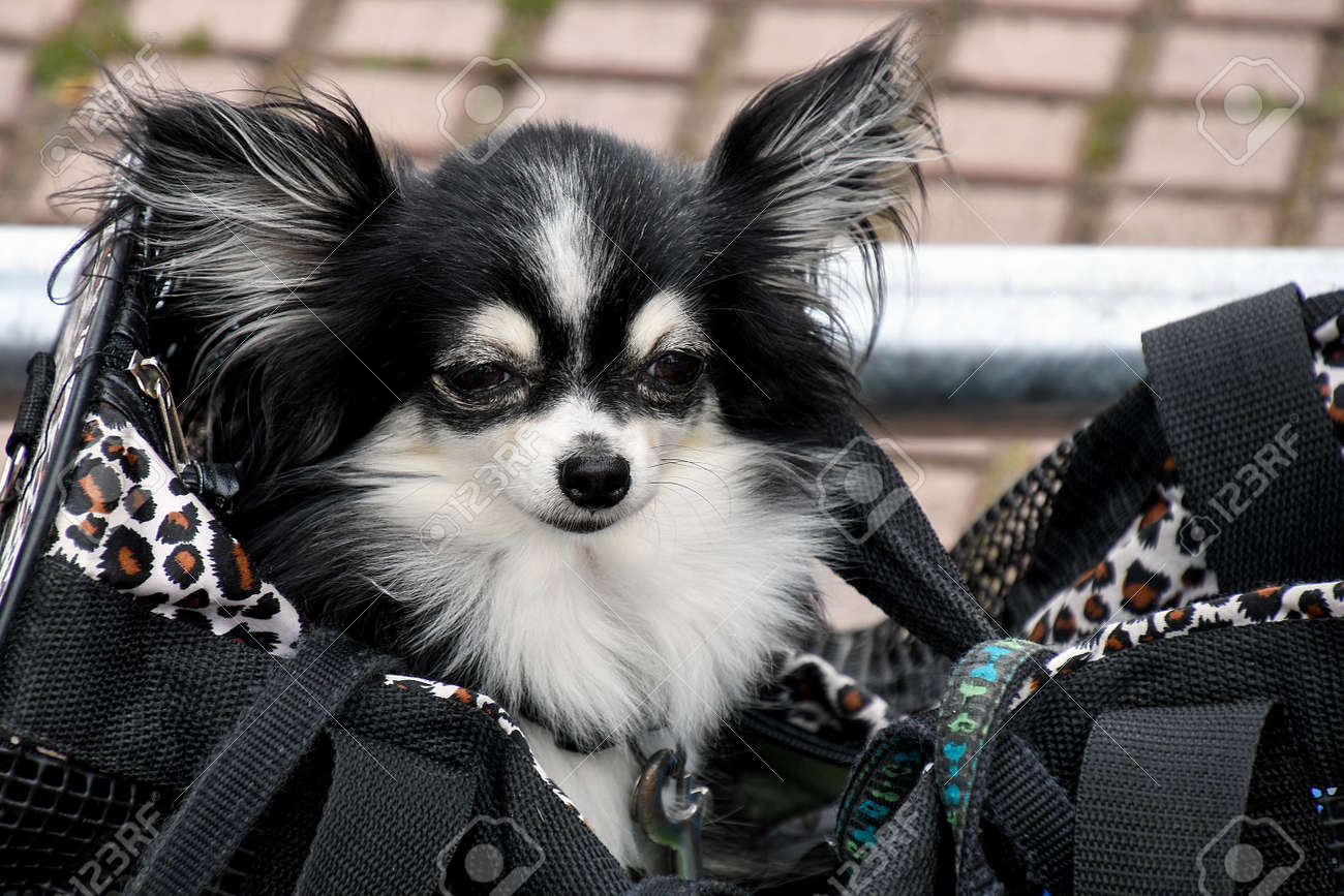 Fluffy Black And White Pomeranian Dog In Large Purse Stock Photo