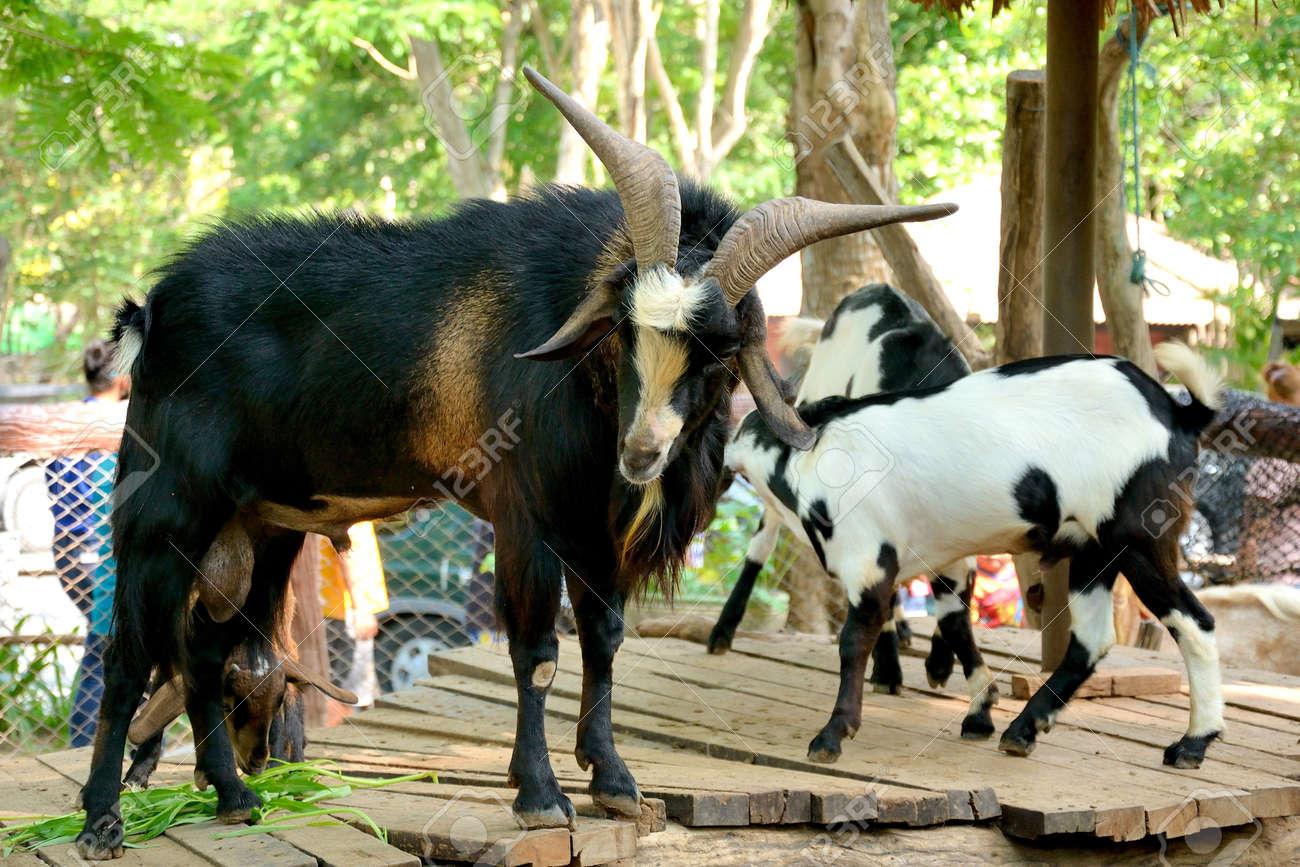 goat Stock Photo - 19453817