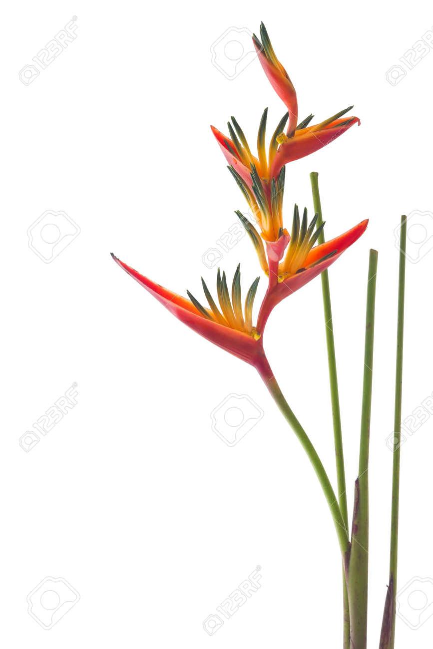 Un Oiseau De Paradis Fleur Isole Sur Fond Blanc Banque D Images Et