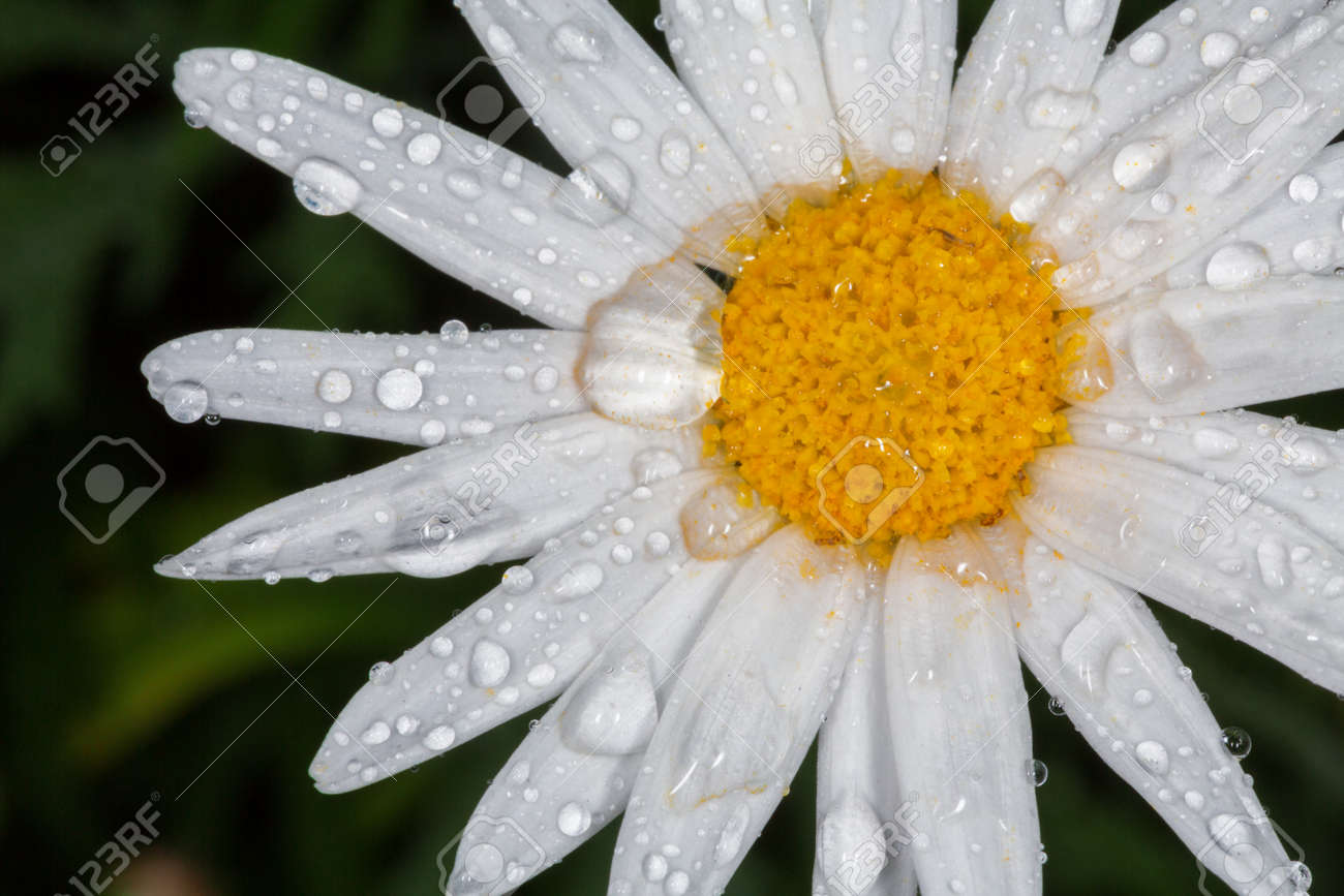 Closeup Of A Beautiful Yellow And White Marguerite Shasta Daisy