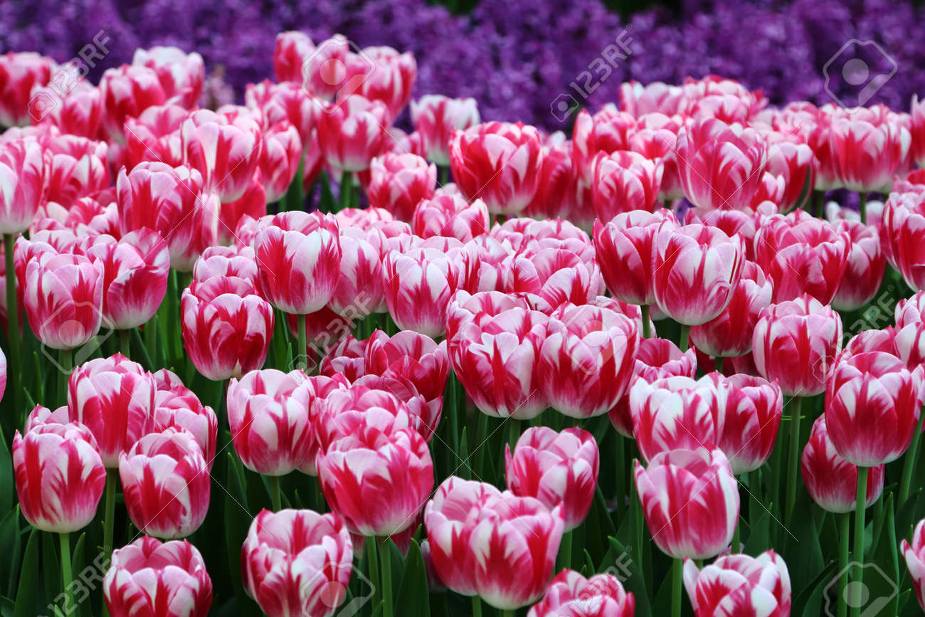 Pink And White Striped Tulip Caramba Flower Bulbs About To Bloom