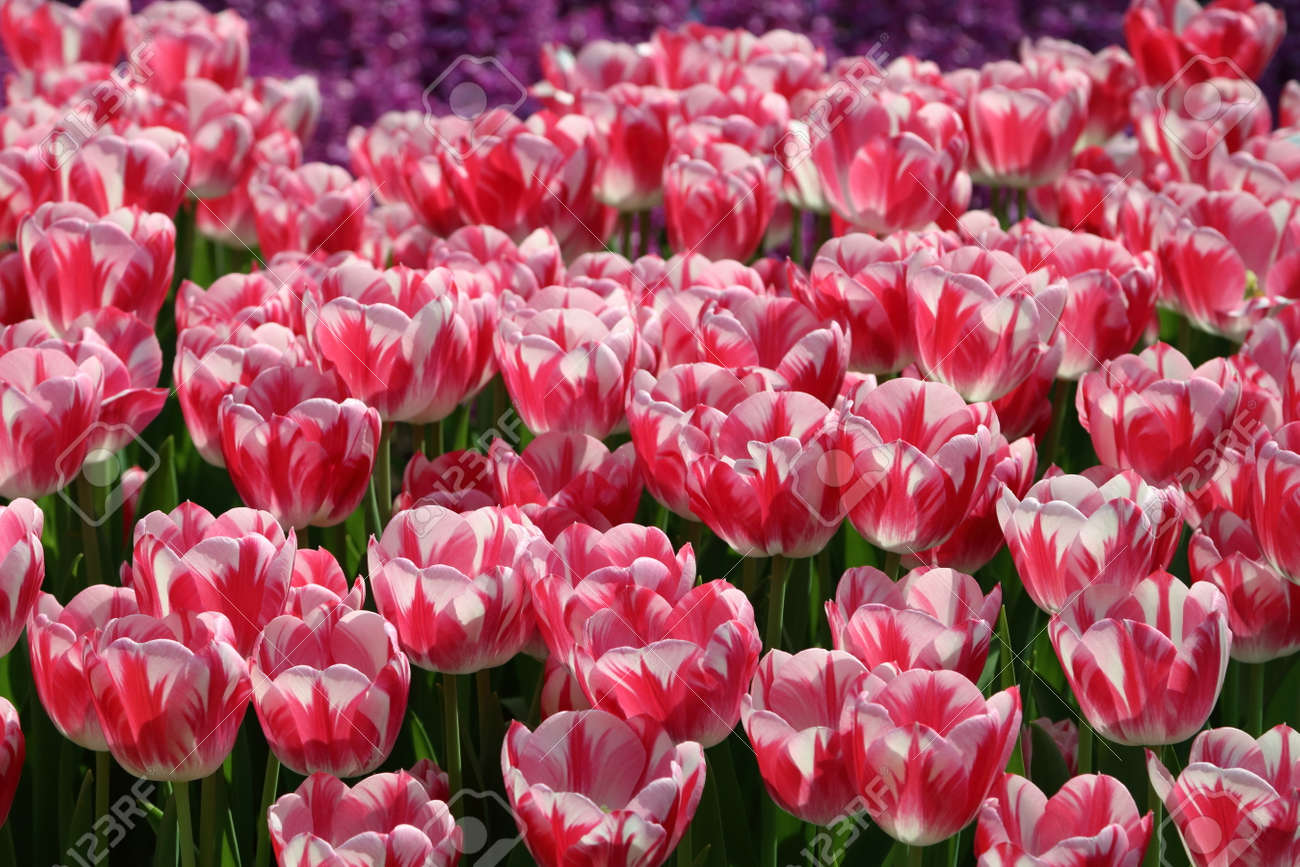 Pink And White Striped Tulip Caramba Flower Bulbs In Backlight Stock