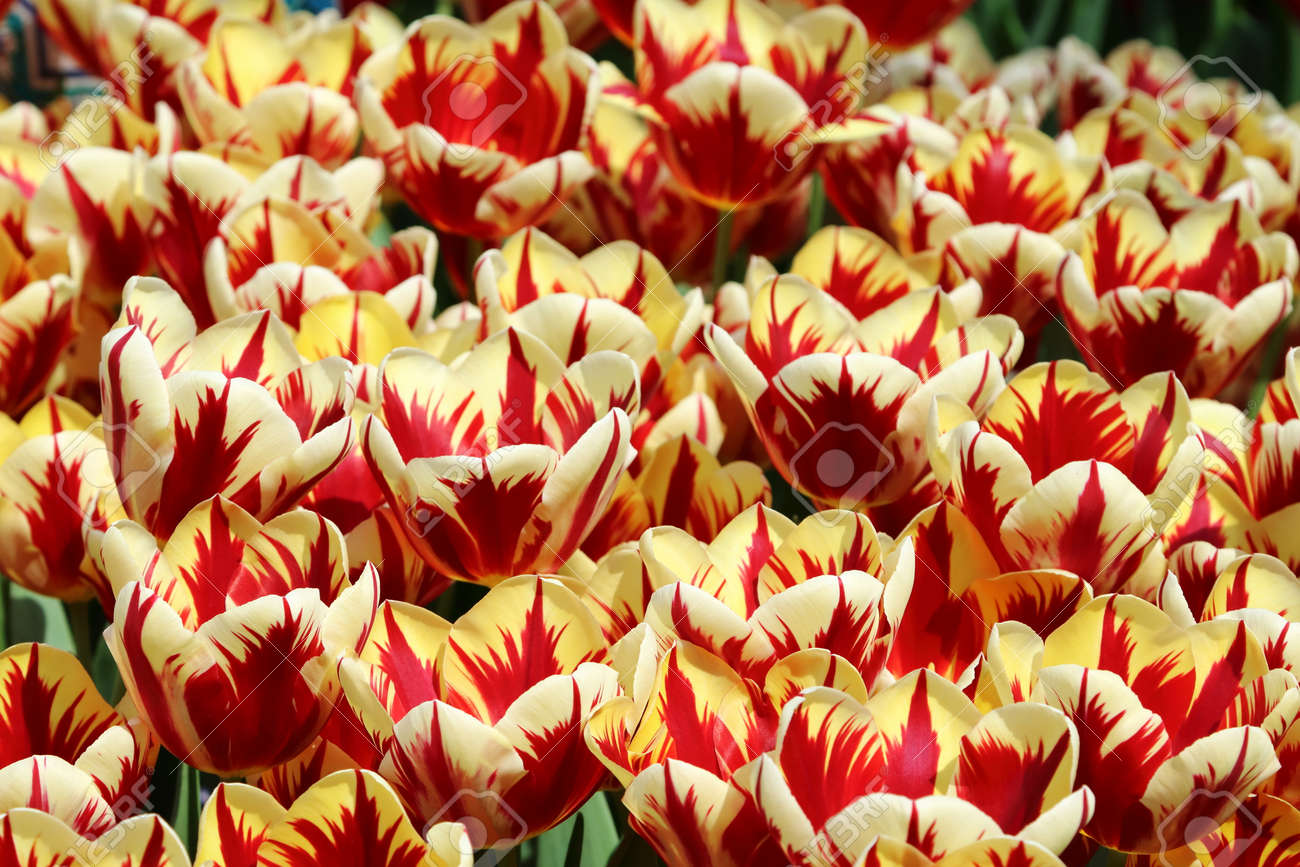 Red And White Striped Tulip Grand Perfection Flower Bulbs Starting