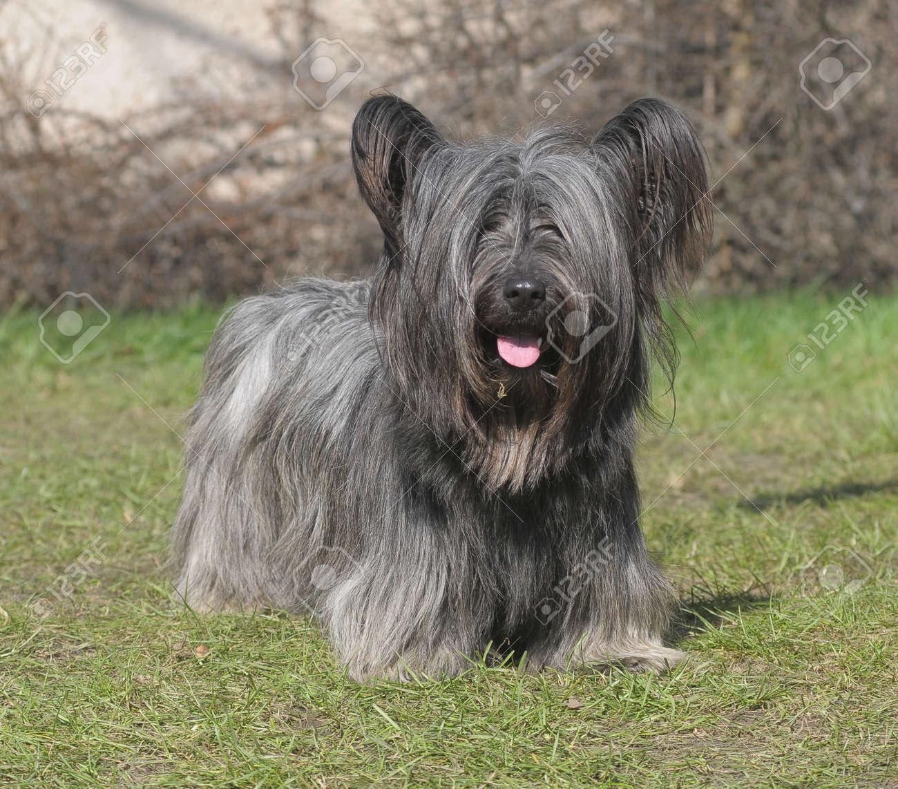 芝生の上のスカイ ・ テリア犬 ...