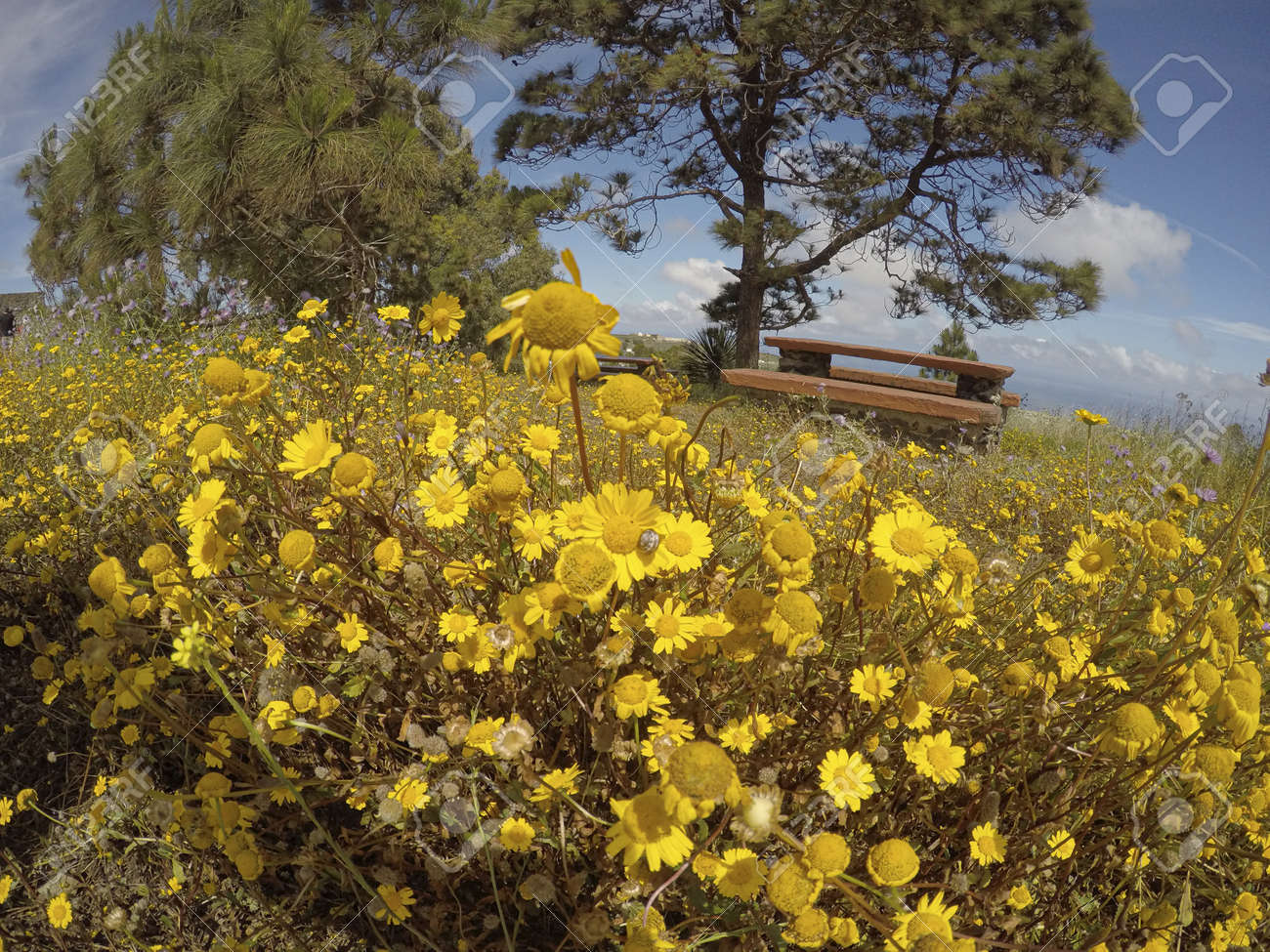yellow field of wildflowers with a wooden bench in the background and blue sky. - 165900315