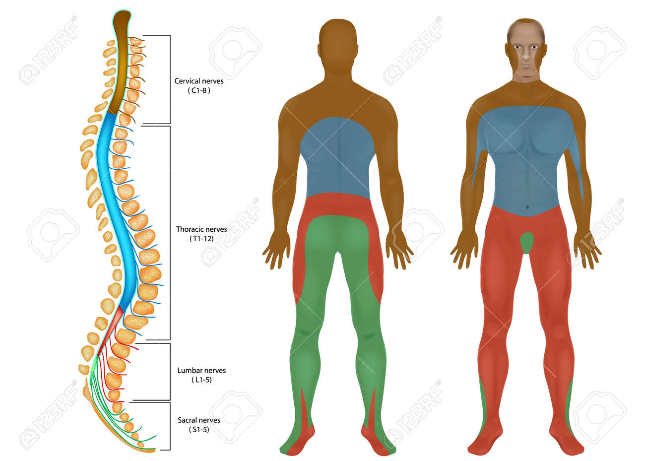 Spinal nerves chart spinal cord peripheral nervous system