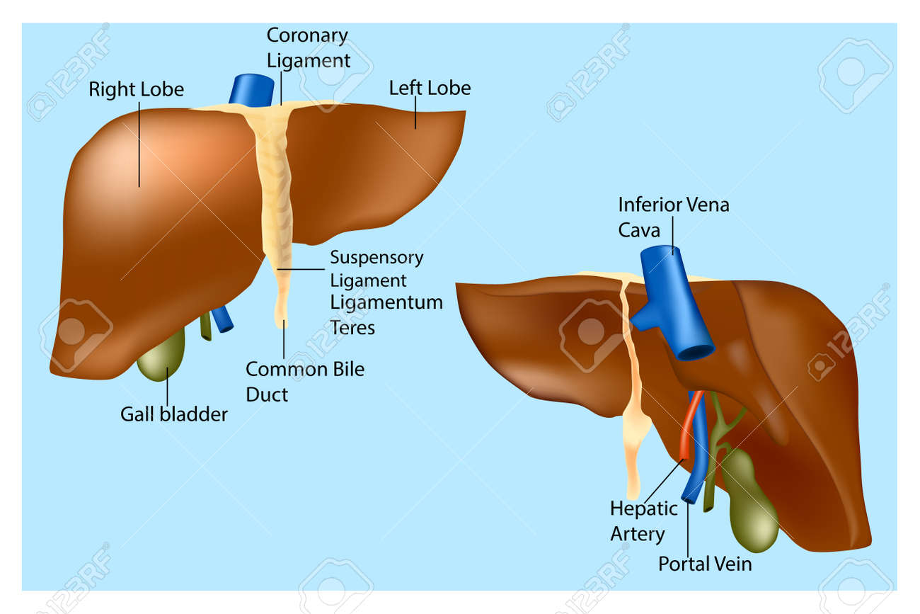 Human Liver Anatomy The Medical Structure Of The Liver Vector