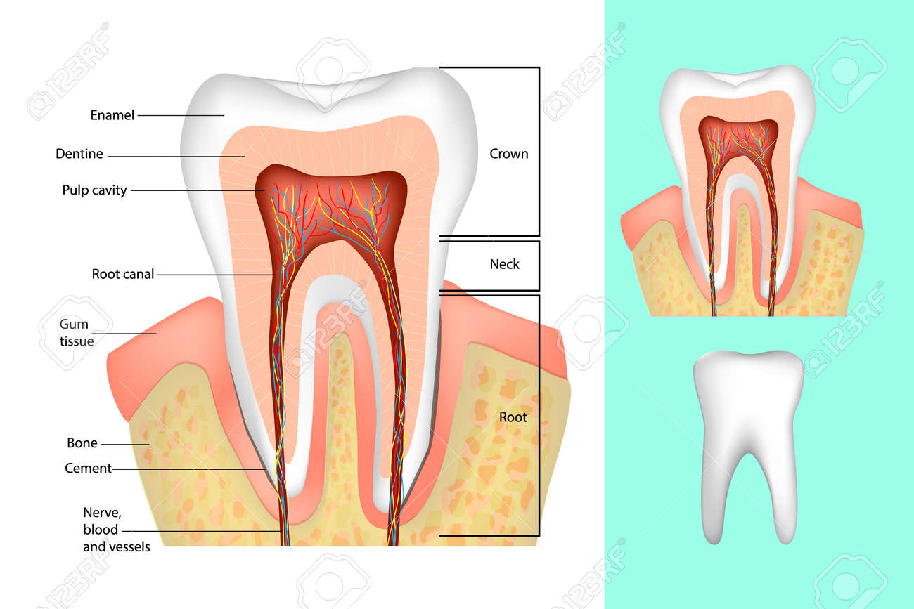 baby gums diagram best wiring library Gingivae Oral Mucosa Diagram tooth structure medical diagram of the structure of the inside rh 123rf com teething gums diagram