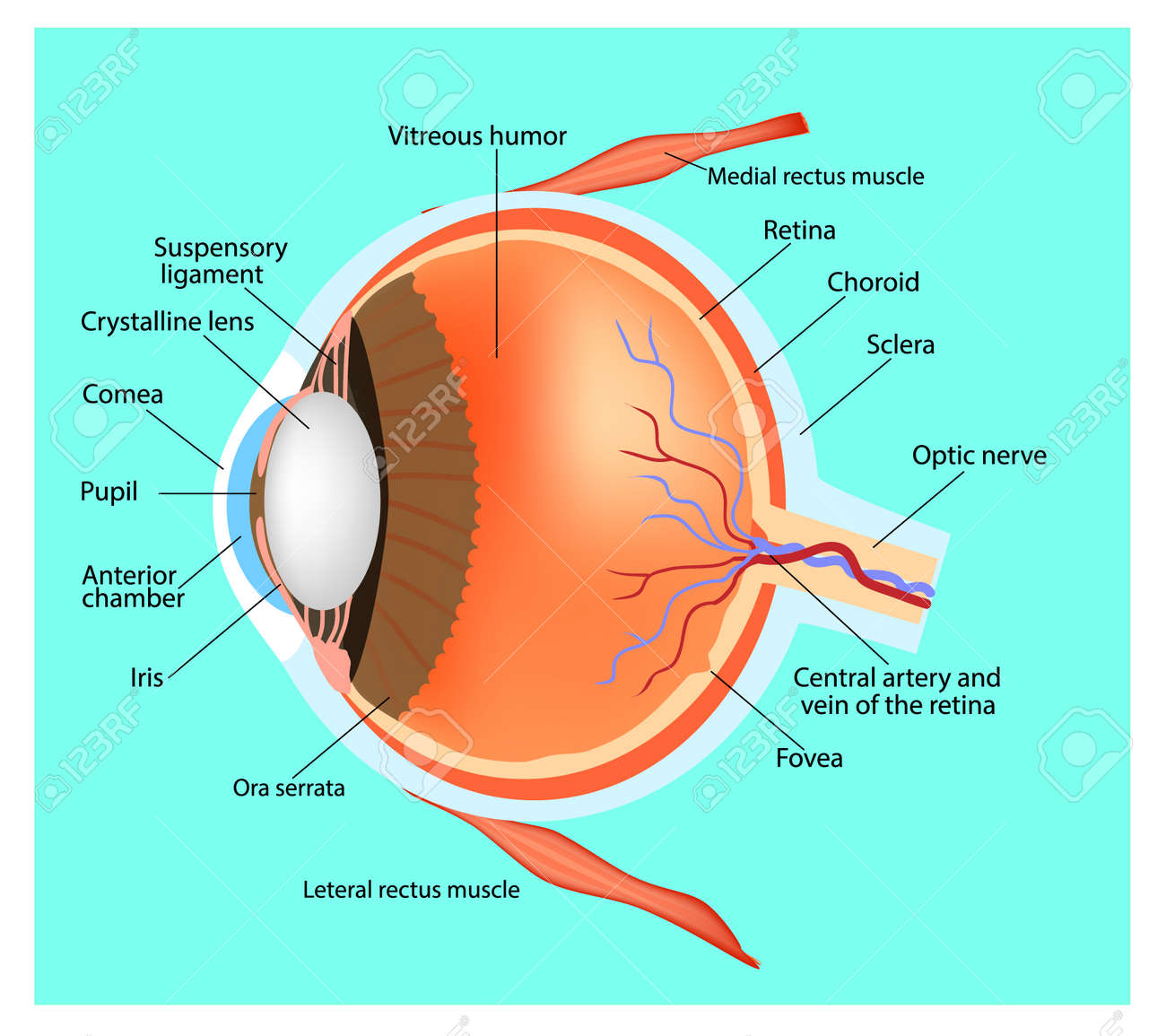 Cross Section Diagram Of The Human Eye Electrical Wiring Simple Structure Through Rh 123rf Com Macular Hole