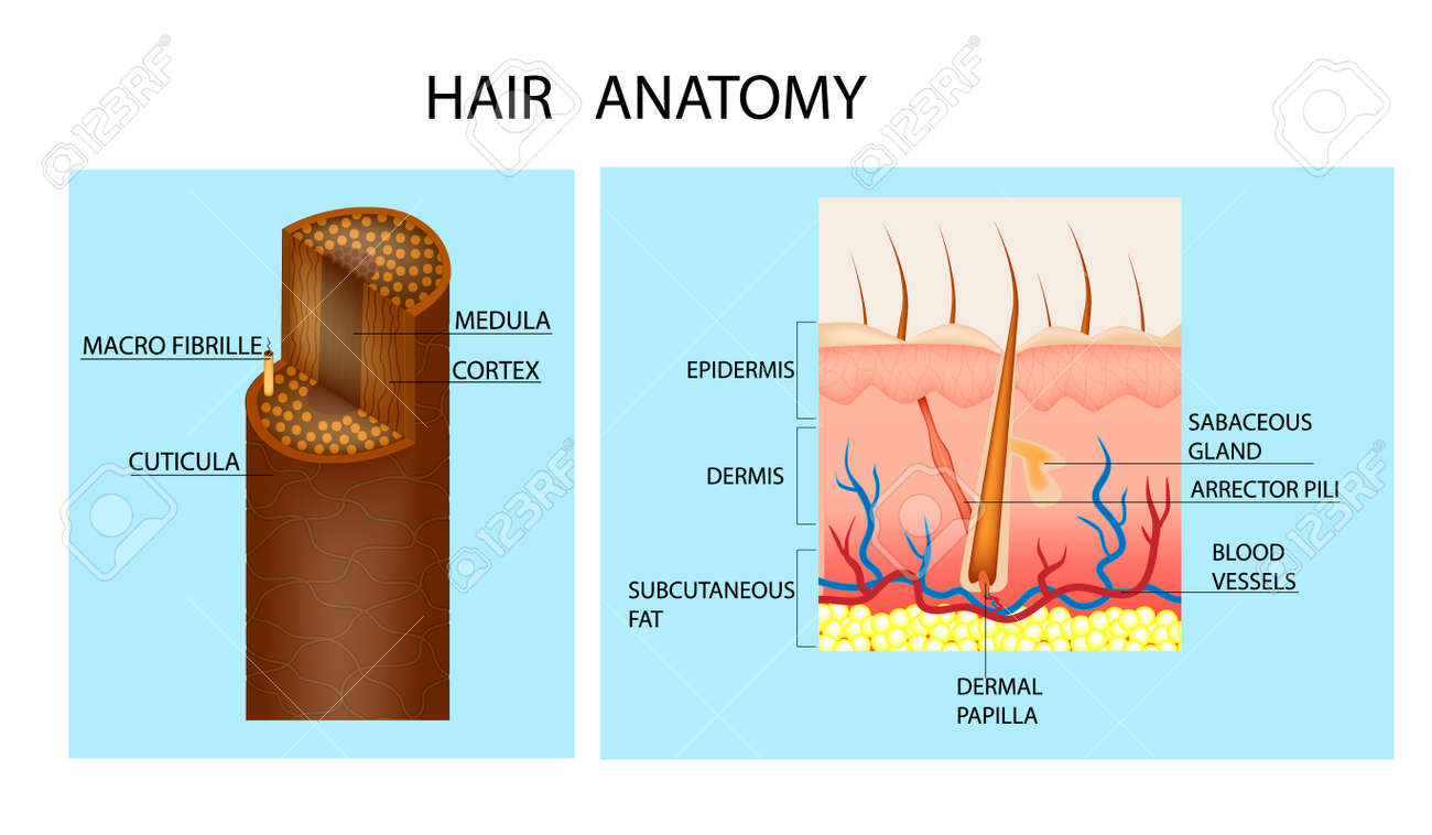 Structure Of The Hair. Detailed Medical Illustration. Hair Anatomy ...