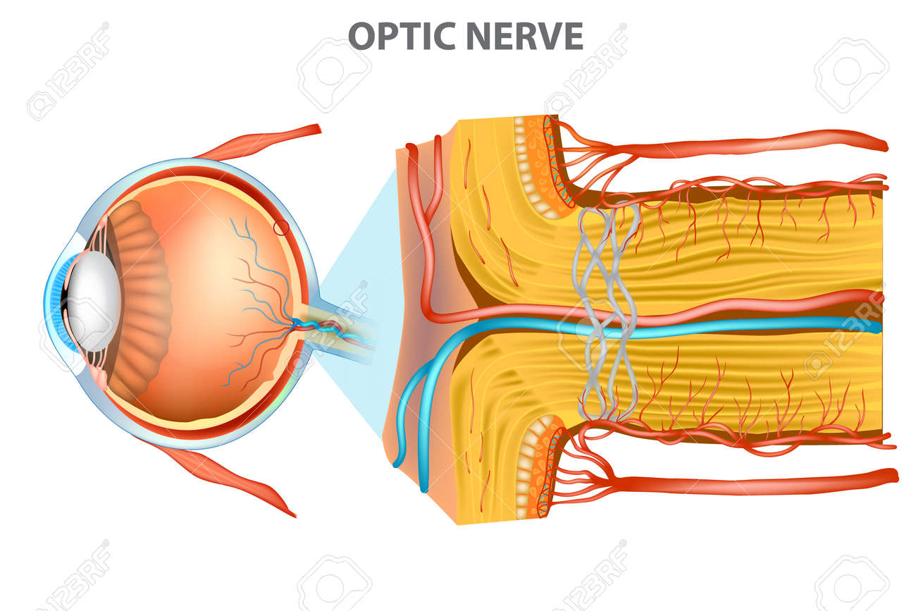The Optic Nerve (cranial Nerve II). Anatomy Of The Eye Royalty Free ...