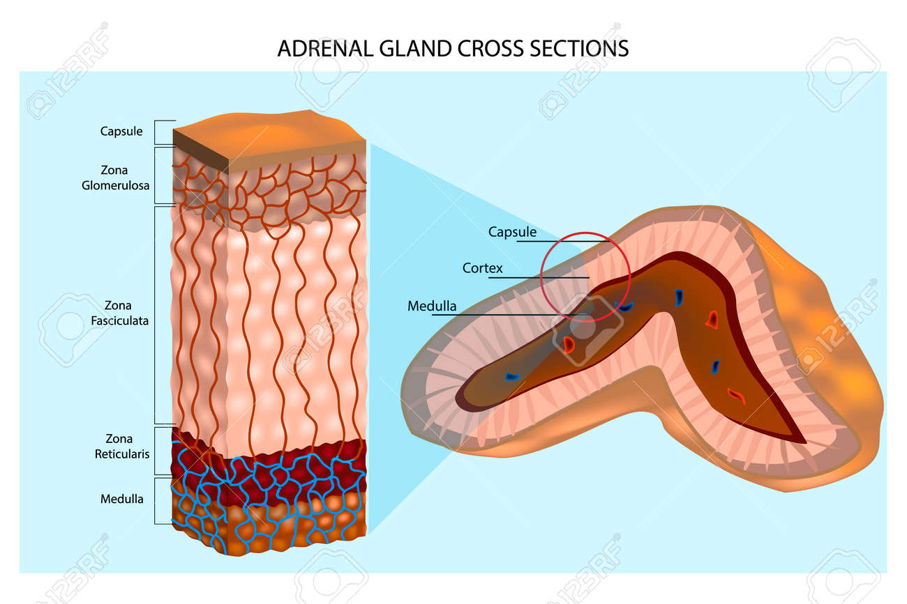 adrenal glands diagram internal structure of the adrenal glandadrenal glands diagram internal structure of the adrenal gland showing the cortical layers and medulla