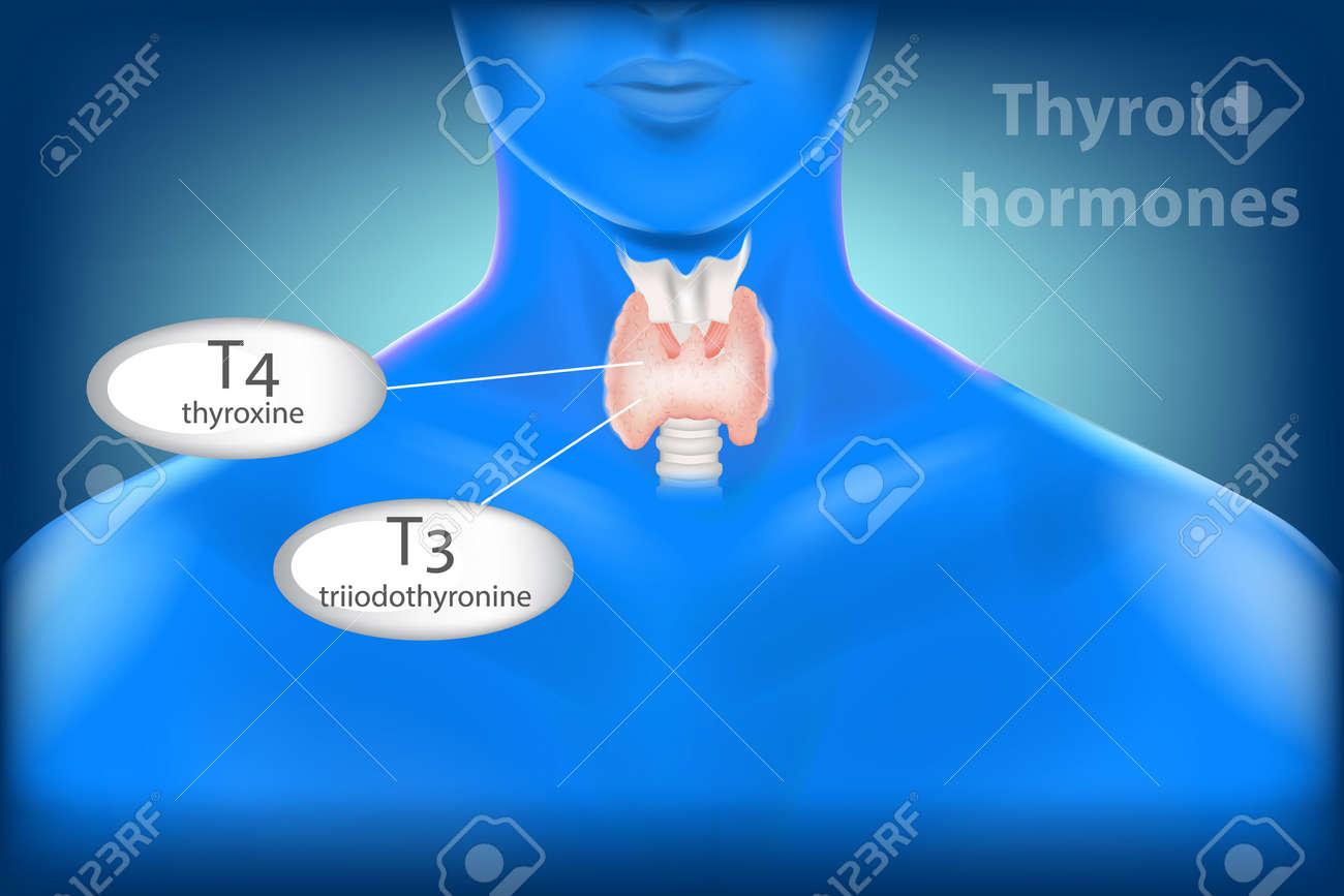 Human Thyroid Gland Anatomy Thyroid Hormones Triiodothyronine